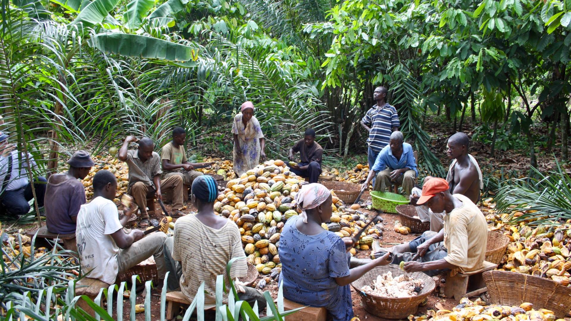 Cocoa sustainable farming and harvest Farmer Group UTZ