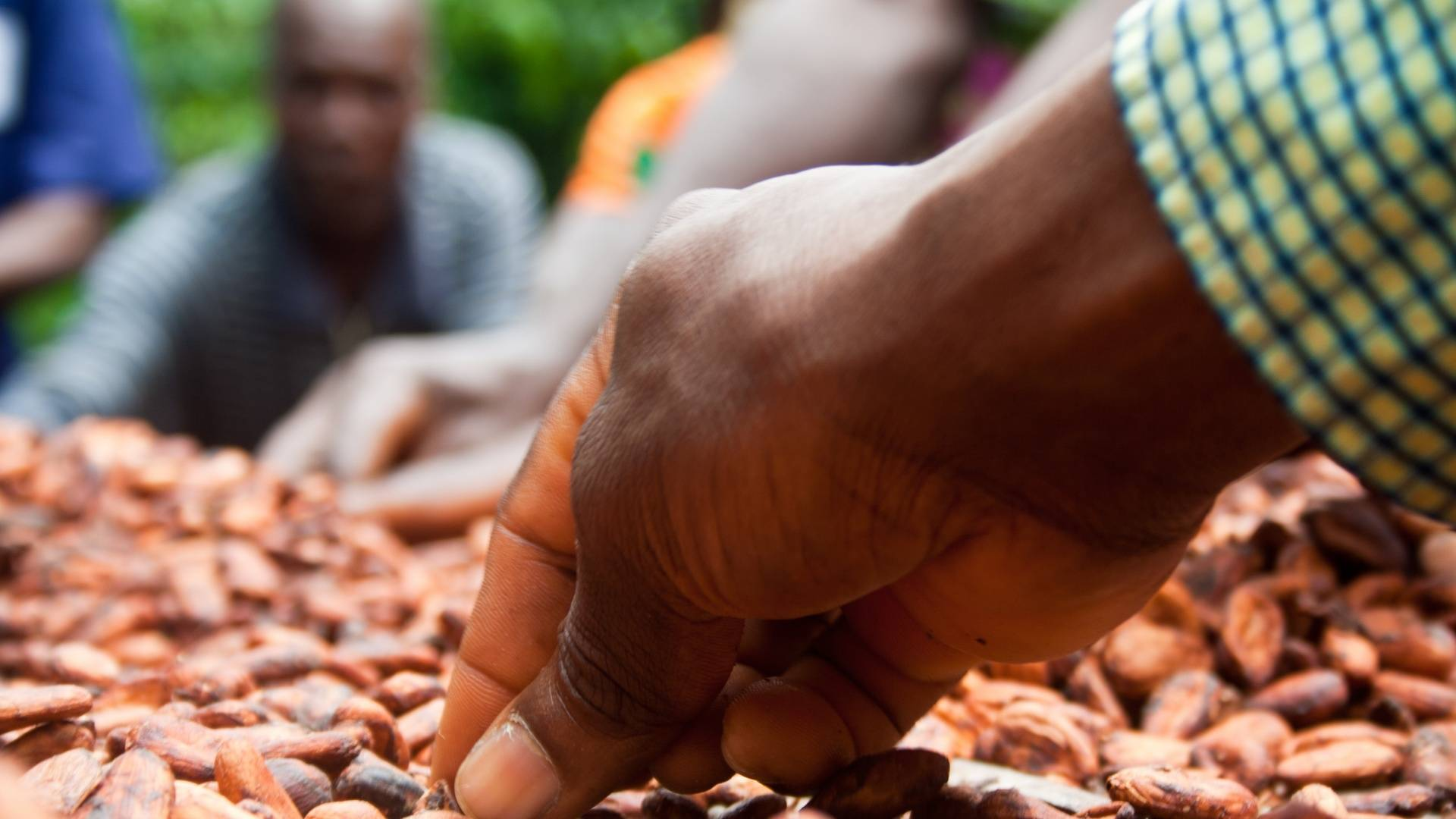 Cocoa sustainable farming and harvest Farmer Hand UTZ