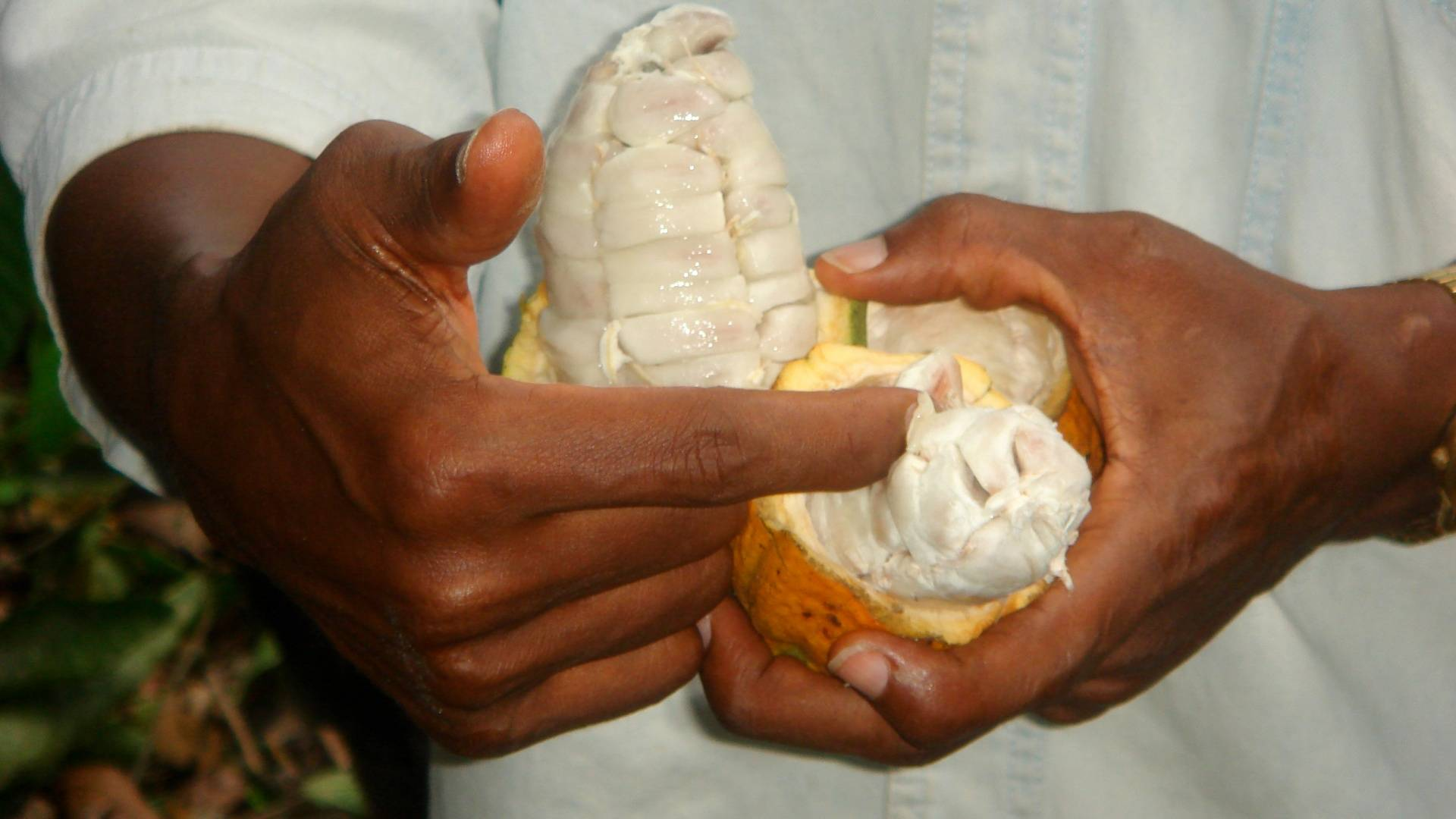 Cocoa sustainable farming and harvest UTZ