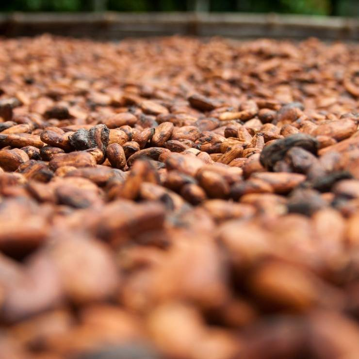 Cocoa beans sustainable harvesting UTZ
